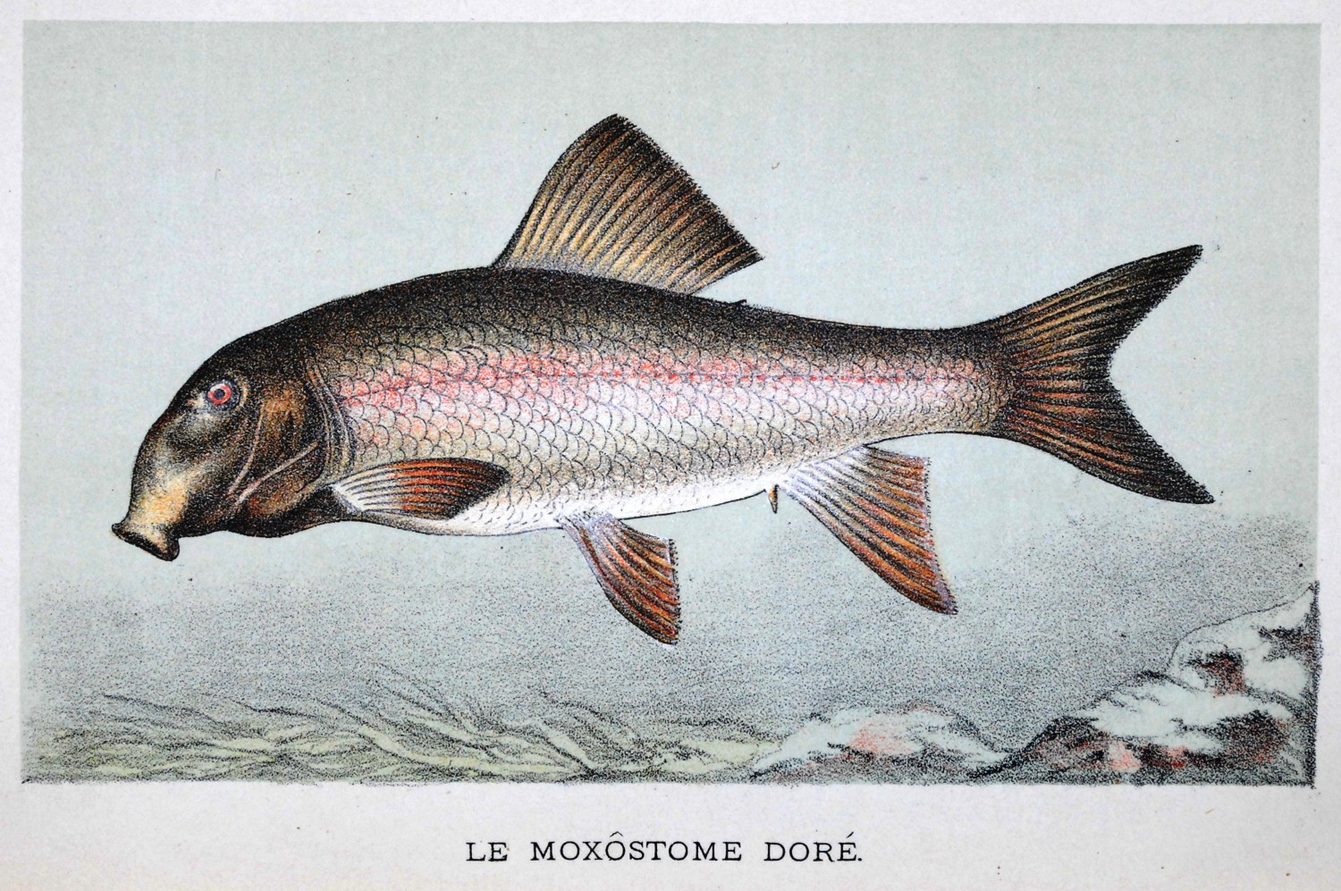 1897 color plate of le moxostome dore