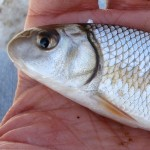 Juvenile quillback carpsucker (Carpiodes cyprinus) from southeastern Wisconsin, March 2013 (photo by Ben Cantrell)