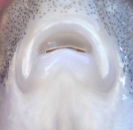 Mouth of juvenile quillback carpsucker (Carpiodes cyprinus) from southeastern Wisconsin, March 2013 (photo by Ben Cantrell)