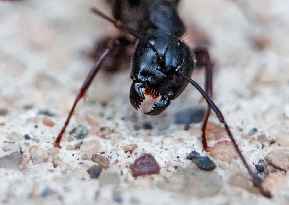 Ant combat. 5/30/2013