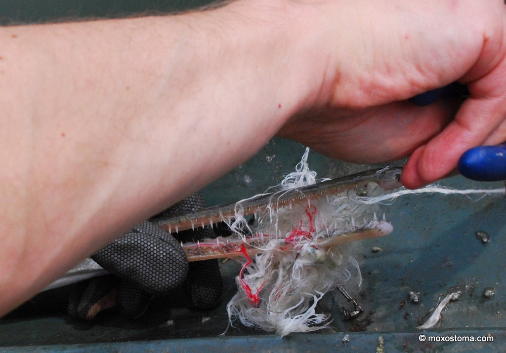 Any fibers left in the gar's mouth could lock it shut and make feeding impossible. As long as you've got a glove on the hand that's holding the fish, you'll be fine. Take your time and do it right.