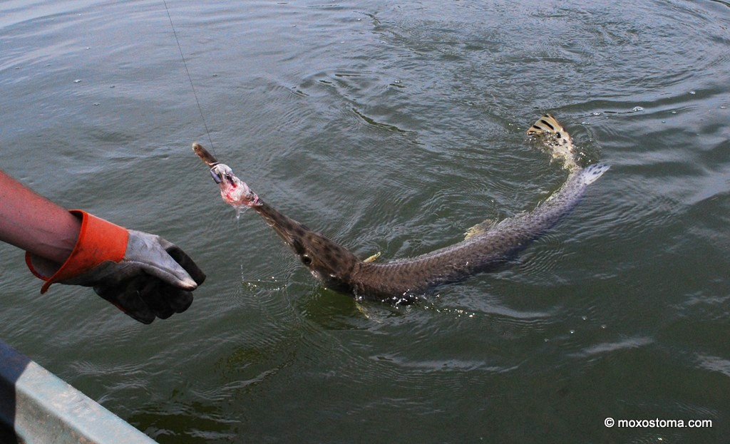 Note that the rope lure is so well tangled in the gar's teeth that it can support the fish's weight.