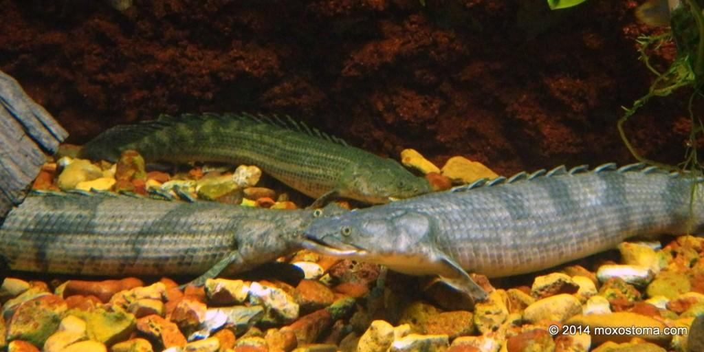 Bichirs. Shedd Aquarium, Chicago.