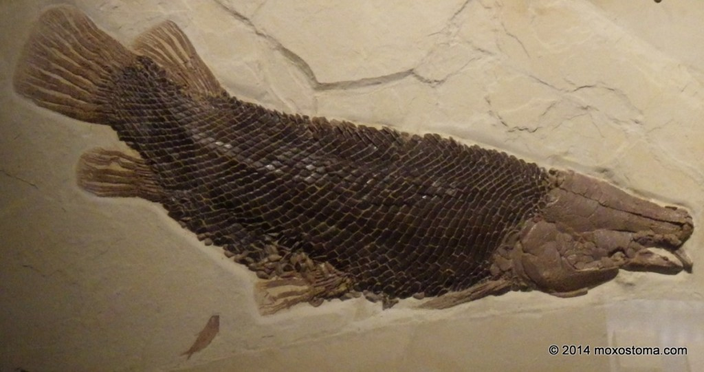 Fossil gar (Masillosteus janei) from Fossil Lake, WY. Field Museum, Chicago.