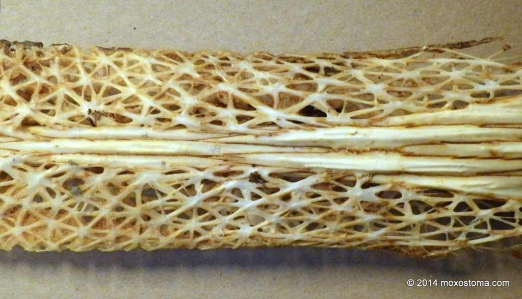 A section of skeletal Paddlefish rostrum (the paddle). Basement of Field Museum, Chicago.