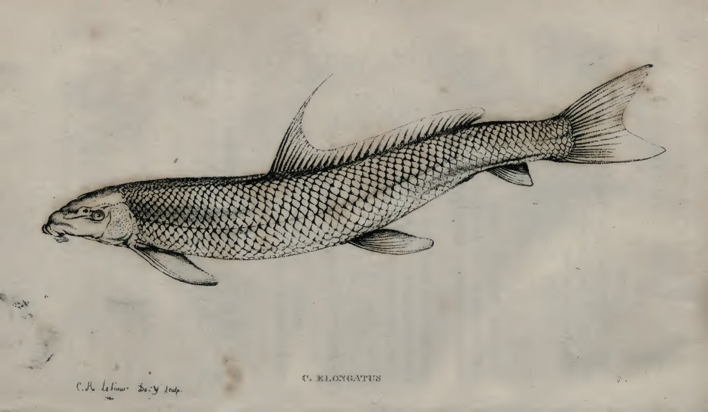 LeSueur's illustration of a Blue Sucker, which he called Catostomus elongatus.