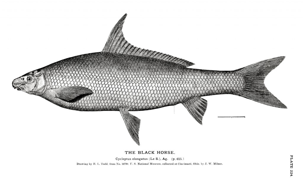H. L. Todd's 1884 Cycleptus illustration.