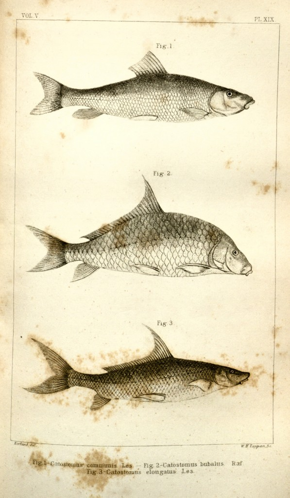 Kirtland's 1845 Blue Sucker (plus White Sucker and Smallmouth Buffalo) illustration.