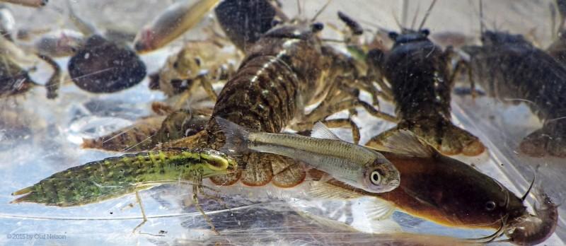 crayfish-madtom-naiad-shiner-7286-e14456
