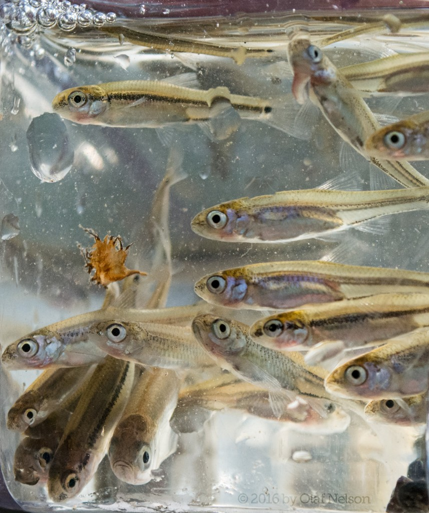 A bunch of little fish we netted while waiting for fish to bite. I have not yet tried to ID these fish, and probably won't. Feel free to suggest IDs. Grundy County, IL. April 17, 2016.